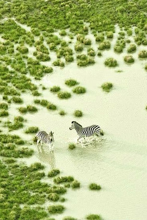 Zebras playing in water hole.