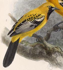 El bolsero yucateco2 (Icterus auratus) también conocido como turpial yucateco3 o chorcha coliamarilla,4 es una especie de ave paseriforme de la familia Icteridae. Es originaria de Belice y México.  Su hábitat natural son los bosques secos y zonas degradadas.