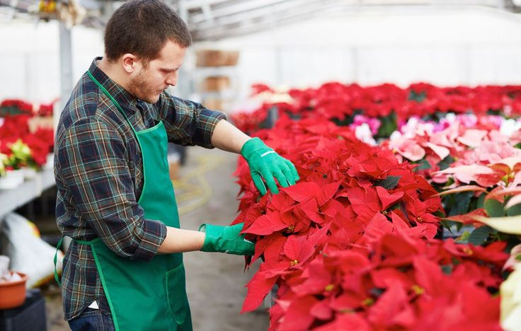 How To Make Sure Your Holiday Poinsettia Blooms Again Next December | OrganicLife | Don't even think about tossing this year's plant; these 3 steps will make sure it's just as glorious next holiday season.