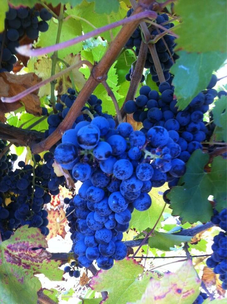 Aresti's Carmenere grapes ripening on the vine - looks delicious!