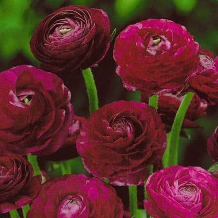"""Die Ranunkeln """"Paars"""" beeindrucken uns mit ihrer wunderschönen, tief dunkel-violetter Farbe, dass die gefüllten und ballähnlichen Blüten sehr geheimnisvoll erscheinen lassen.Ranunkeln lieben feuchte, durchlässige Böden, die außerdem nährstoffreich und humos sind. DieErde um die Ranunkeln sollte man zum Beispiel mit Blaukissen oder Gänsekresse beschatten,  damit die Erde nicht austrocknet. Bitte legen Sie die Zwiebeln vor dem  Einpflanzen mehrere Stunden in Wasser. Da Ranunkeln bei ..."""