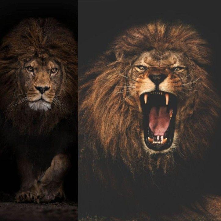 Pin By روائع الصور On الاسود الضواري Animals Lion