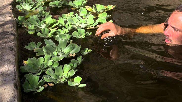 Plantas acuaticas Flotantes y sus Raices | Plantas Ornamentales