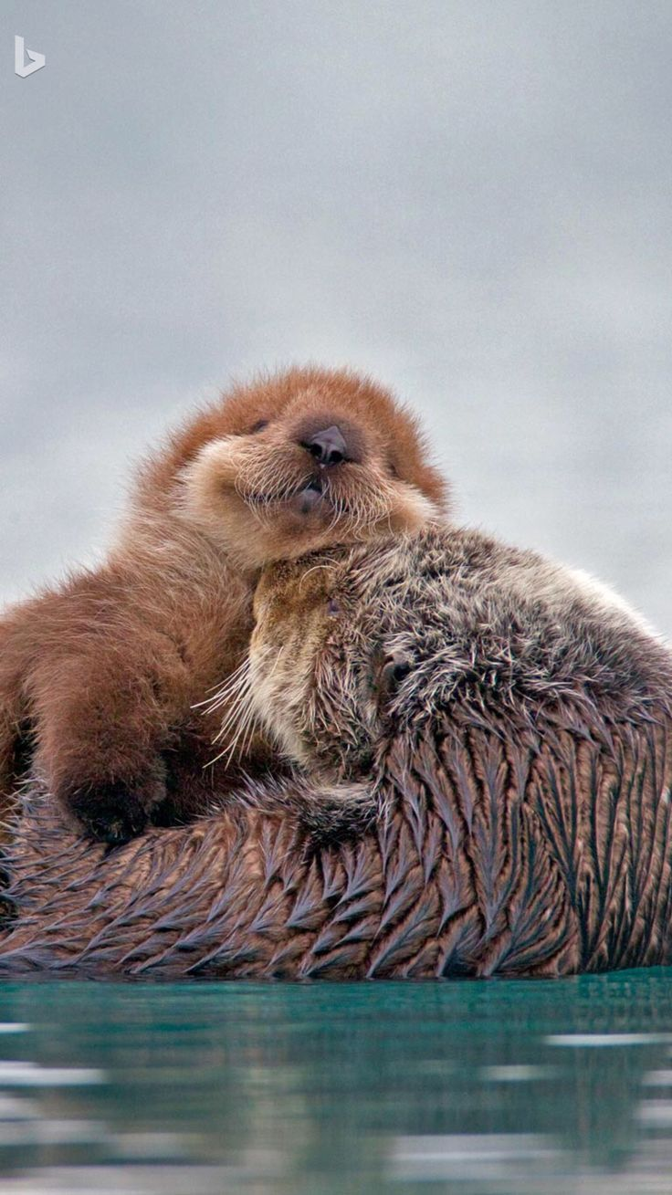 Little Cutie Sea Otter Pup On Mom We Are Want To Say Thanks If