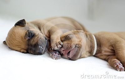 Newborn Rhodesian Ridgeback whelps lying and sleeping. The little puppies are one week of age. It is a purebreed african dog. Image is taken closeup as a fullframe shoot.