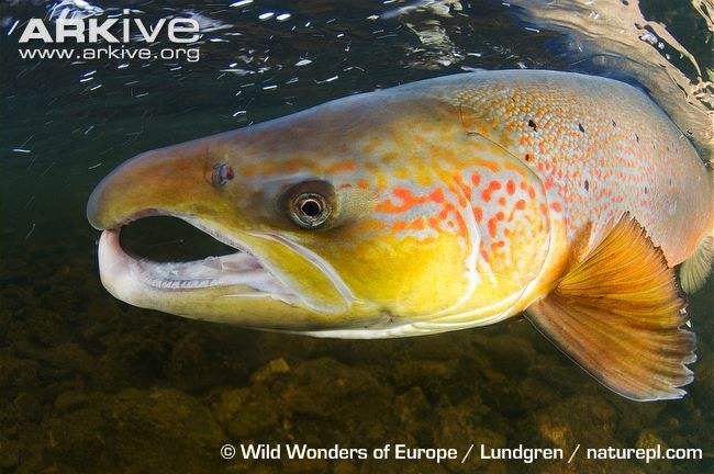 The Atlantic salmon (Salmo salar), 'the leaper', has been called the king of fish, due primarily to its spectacular ability to clear seemingly insurmountable obstacles. The large body is long and...