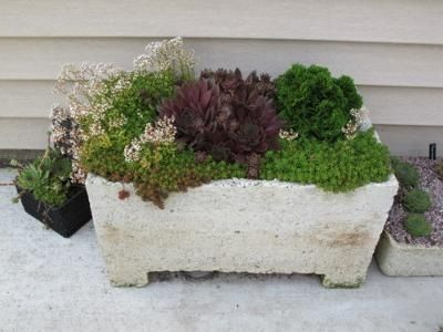 Gorgeous Succulent Trough with dark red Sempervivum and a handful of other tiny Sedum and alpine plants.  Combine; plant; delight; there are no bad combinations in a hypertufa trough.
