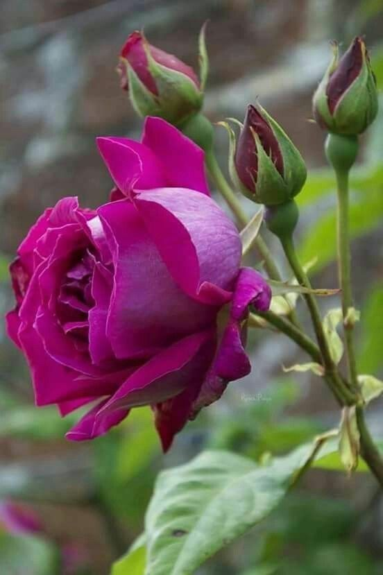 Baldur Garten Rosen. 18077 Best Rosen Images On Pinterest Roses