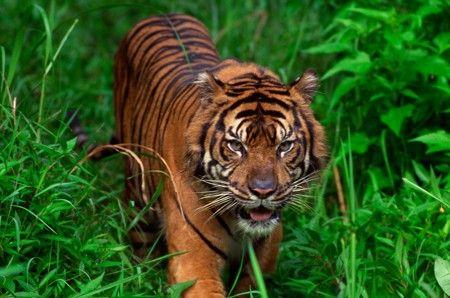 Sumatran Tiger Habitat