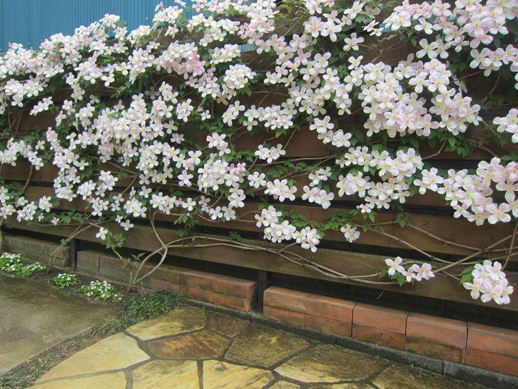 駐車場の側面に板塀を作り、その壁に毎年、この季節にクレマチスを咲...