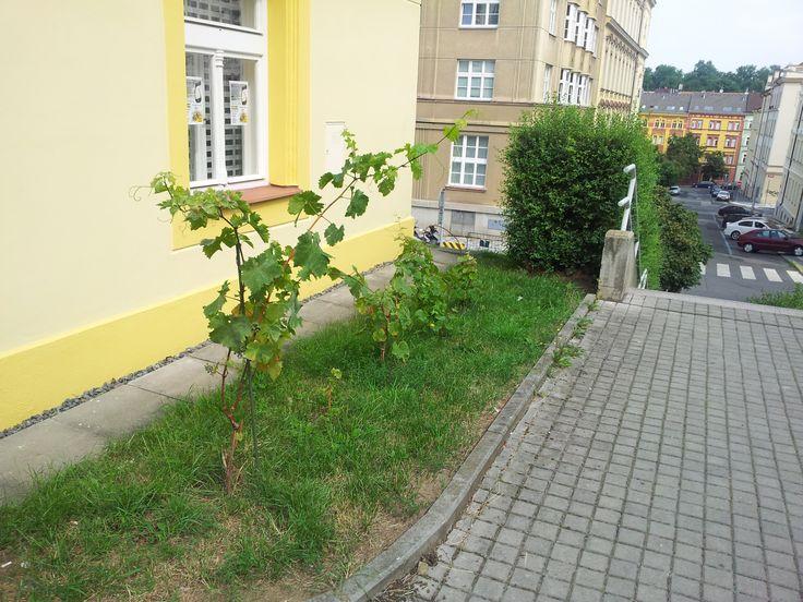 Grapes in Zizkov (Prague 3, CZ).