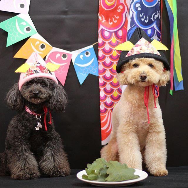 . ルイ君ママに柏餅を頂きました😊🎏 ありがとうございます💖 GWは2日の火曜日は通常通りお休みですが、 3日水曜日は営業します🐶💓 ぜひ遊びにいらして下さいね❣ #神楽坂  #トイプードル #神楽坂ドッグカフェ  #犬カフェ #肉球 #肉球のきもち #犬のおやつ #ドッグカフェ #もずく #うに #トイプードルもずく #トイプードルうに #超音波温浴 #酵素風呂 #セルフシャンプー #神楽坂トリミング #神楽坂おすすめ #愛犬 #こどもの日 うに @uni_1221  もずく @mozuku_0211
