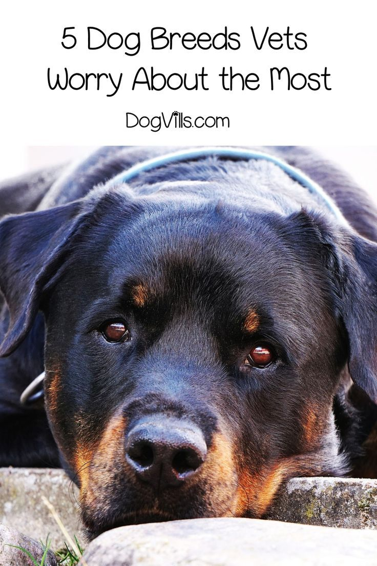 The 5 Dog Breeds Vets Worry About The Most Dogvills Dog Breeds Dogs Scary Dogs