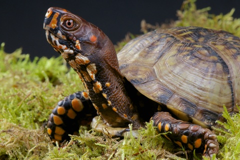 ... turtles on Pinterest Turtle homes, Tortoise house and Box turtles