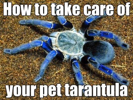 How to take care of your pet tarantula...