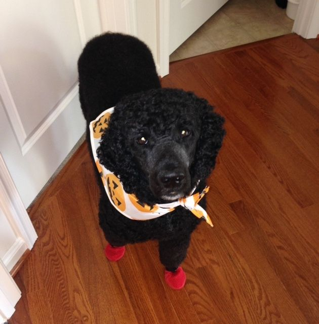 Best Dogs Wearing Boots  Shoes Images On Pinterest Boots - Dog shoes for hardwood floors