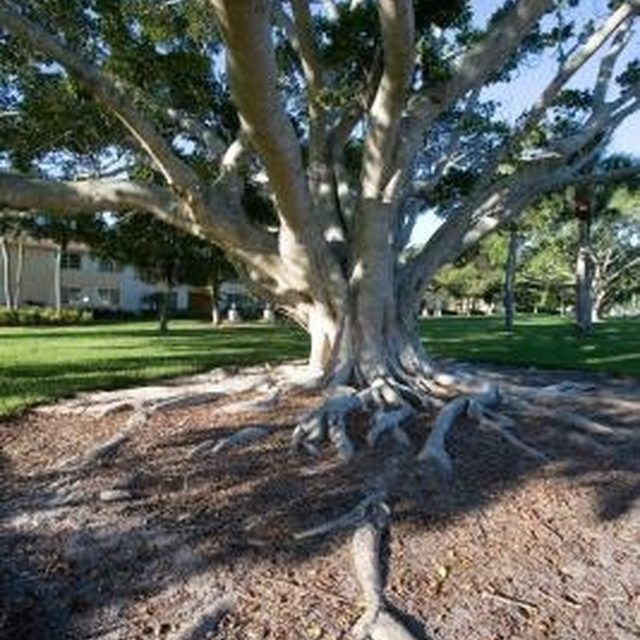 Growing grass under trees will help cover up some unsightly exposed roots.
