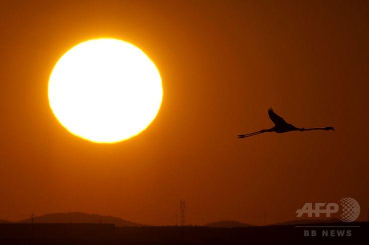 スペイン南部マラガ Málaga 近郊の湖の上を飛ぶフラミンゴ(2013年8月10日撮影、資料写真FILE)。(c)AFP/JORGE GUERRERO ▼9Apr2015AFP 珍しい黒いフラミンゴ、キプロスで発見 世界で1羽の可能性 http://www.afpbb.com/articles/-/3044935 #Flamingo #Malaga_Spain