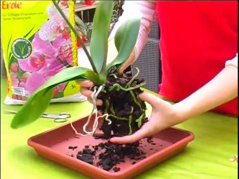 Orchideen schneiden - pflegen - umtopfen - YouTube