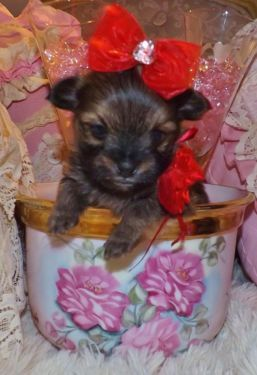 Tiny Fur Babies Pomeranian /Yorkie Mixed  For sale