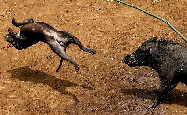 Success! Dog-and-Wild Boar Fights Banned In #WestJava   Care2 Causes #BanDogandWildBoarFights