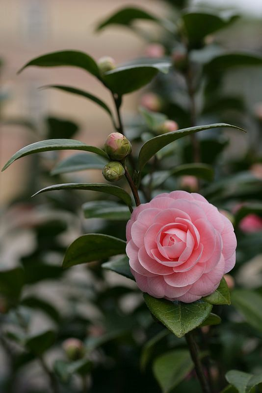 Camélia. Camellia. Camelia.