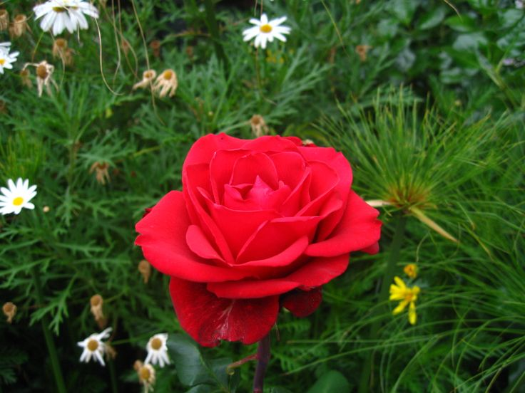 Rosa roja #flor Antejardín en Viña del mar, Chile.