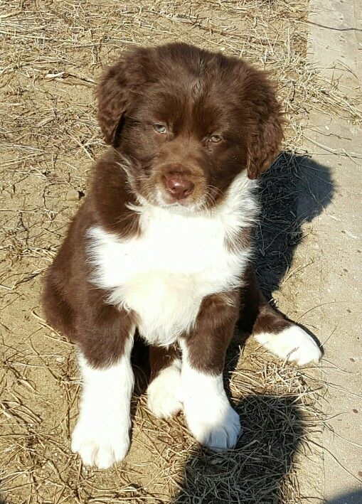 English Springer Spaniel Qld 291 best images about ...