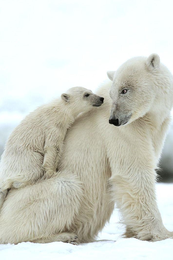 Polar Bears                                                                                                                                                                                 Plus