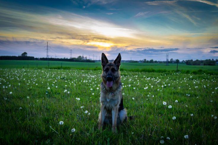 Aftenspor med Luna   Et hundeliv - Skriblerier om en Schæferhund