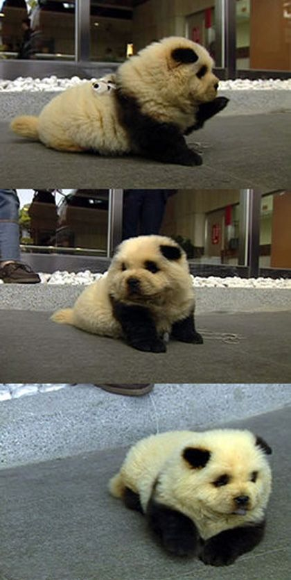 panda dog!!! i want one so badly.