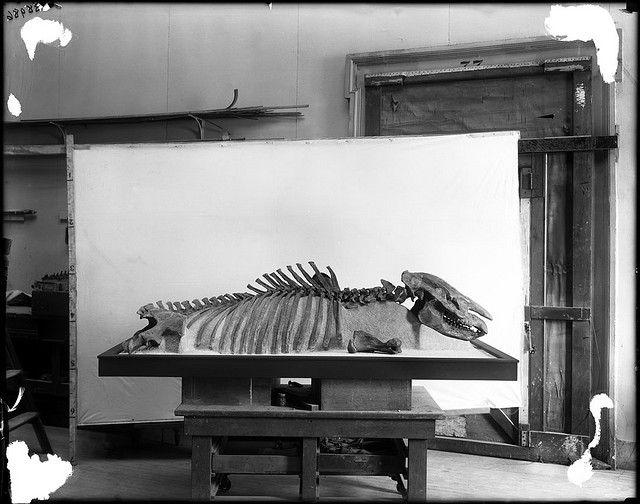 Dolichorhinus longiceps skeleton | Flickr - Photo Sharing!