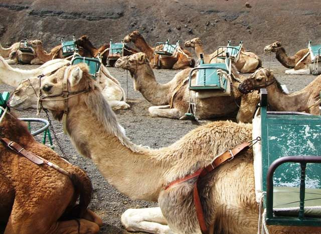 Camels in the Timanfaya National Park, Lanzarote Cycling