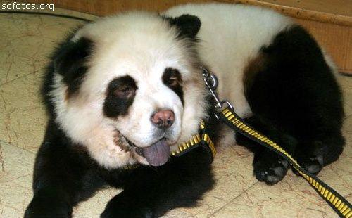 chow chow puppy panda panda