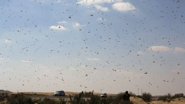 Swarms of Locusts Tormenting Middle East, Madagascar - weather.com