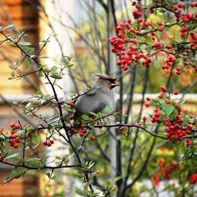 Waxwing spotted by a guest by Imogen lodge