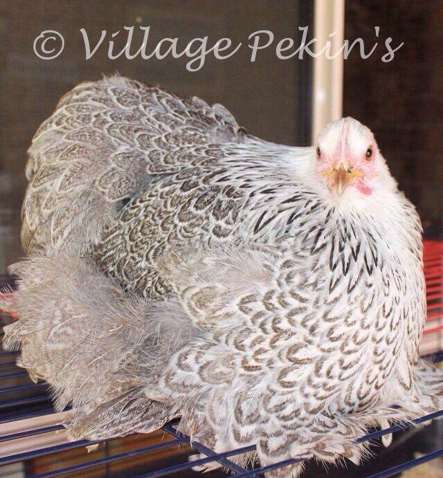 Silver Partridge (pencilled) Pekin