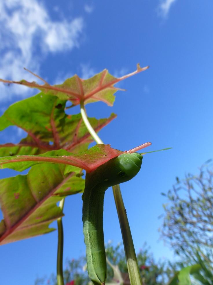 Chenille du jardin qui a dévoré les feuilles de taro et  magnifique ciel bleu