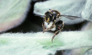 Wool carder bee with a ball of hairs cut from a leaf to build her nest - lambs' ears