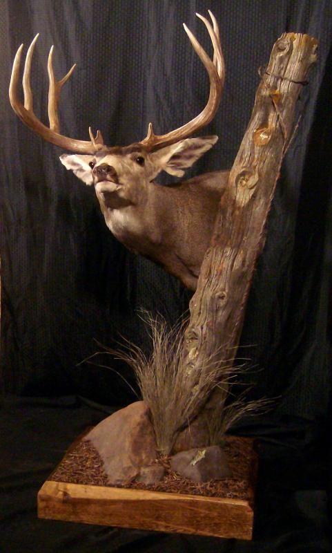 Best 25 Deer Mounts Ideas On Pinterest Deer Antlers