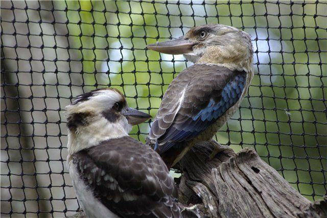 CAT-форум • Просмотр темы - Путешествия по Австралии: сухопутные и подводныеLaughing Kookaburra