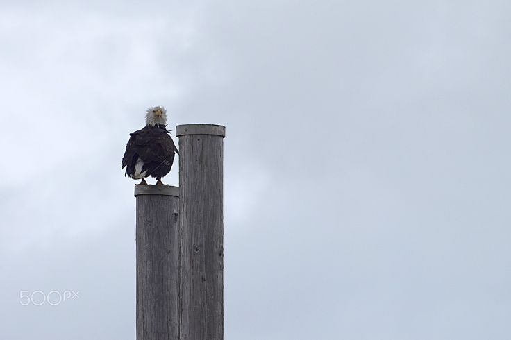 Bad hair day - Golden eagle resting on a post