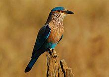 Indian Roller(Coracias benghalensis)
