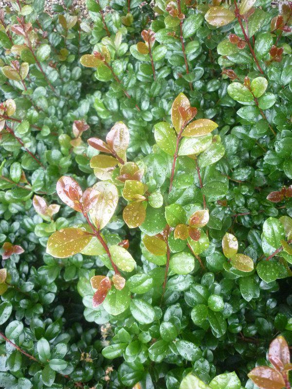Syzygium australe 'Southern Select' — Warners Nurseries