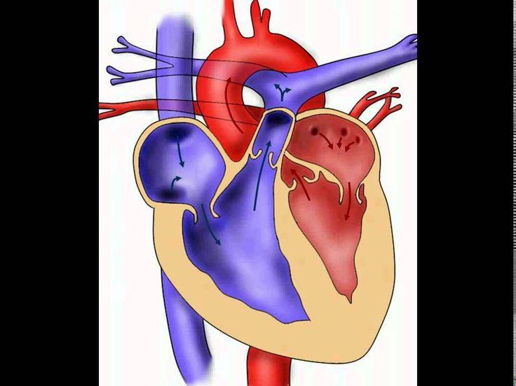 aufgaben herz aufgaben herz Wie groß und wie schwer ist das Herz? aufgaben herz Die Größe des Herzens kann man sich anschaulich vorstellen: als etwas mehr als Faustgröße des jeweiligen Menschen. Das Gewicht des Herzen liegt um 300 g. Was versteht man unter kritischem Herzgewicht? aufgaben herz Unter krankhaften Bedingung vergrößert sich die Herzmuskulatur. Das Herz hypertrophiert! Hierbei nimmt die Muskelmasse des Herzens an Gewicht zu.