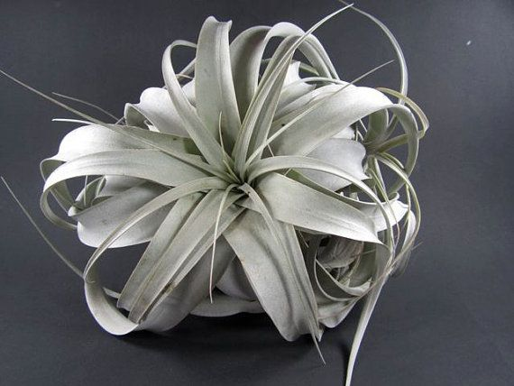 Large Tillandsia Xerographica Living Air Plant by RikkisTropicals