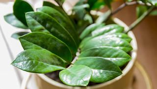 ZZ Plant http://www.rodalesorganiclife.com/home/5-houseplants-that-thrive-in-dark-apartments/cast-iron-plant