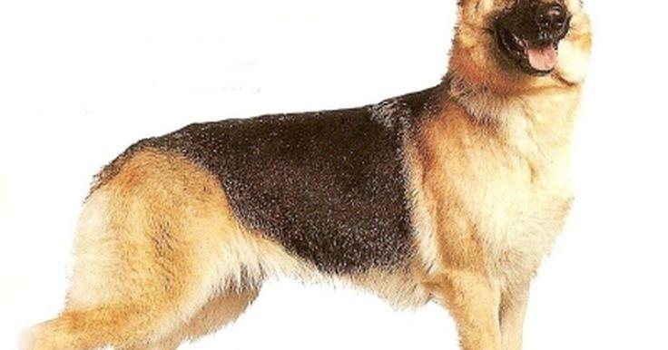 """A melhor comida de cachorro para Pastores Alemães. Pastores Alemães são uma grande raça de cães classificados como """"cão pastor"""". Eles são fortes, leais e extremamente atléticos. Todos os cachorros exigem uma dieta com muita proteína, mas os pastores alemães e outras classes de cachorros trabalhadores precisam de uma quantidade ainda maior de proteína. Abaixo estão dicas de como escolher a melhor ..."""