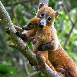 Coatimundis ve bebek - bunlar ağırlıklı olarak Orta ve Güney Amerika'da bulunan rakun benzeri hayvanlardır.