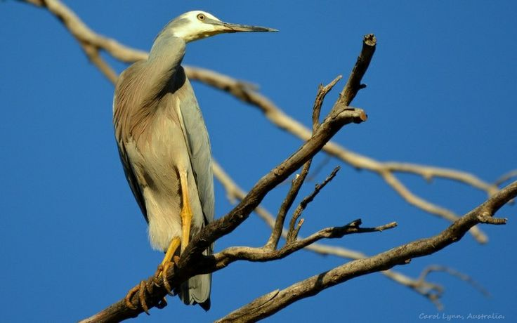 A heron, more used to patrolling the edges of the dam looking for food, alights in the top of an old tree.